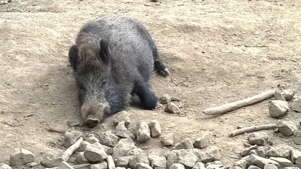 The Waldau wild pigs are always fun to watch.